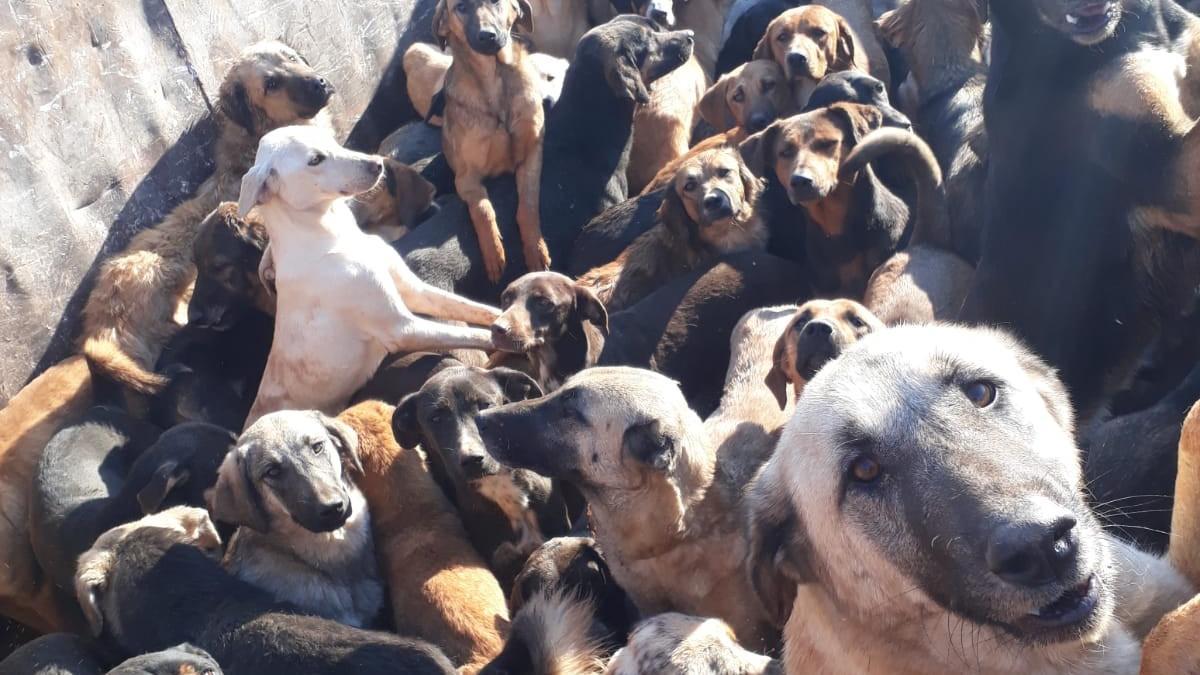 Alanya'dan Mersin'e 70 köpek!