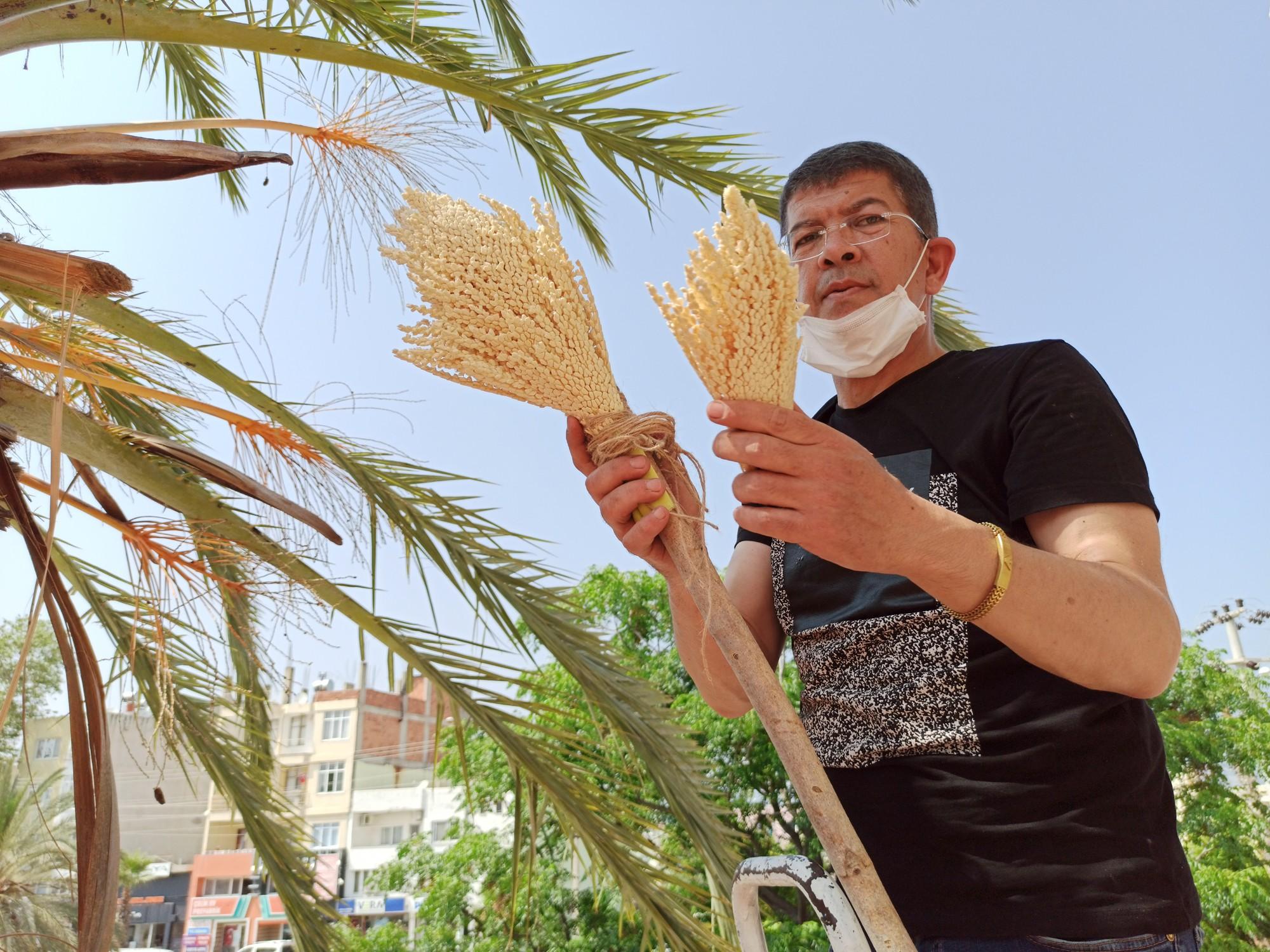 Silifke'de hurma ağaçları evlendiriliyor