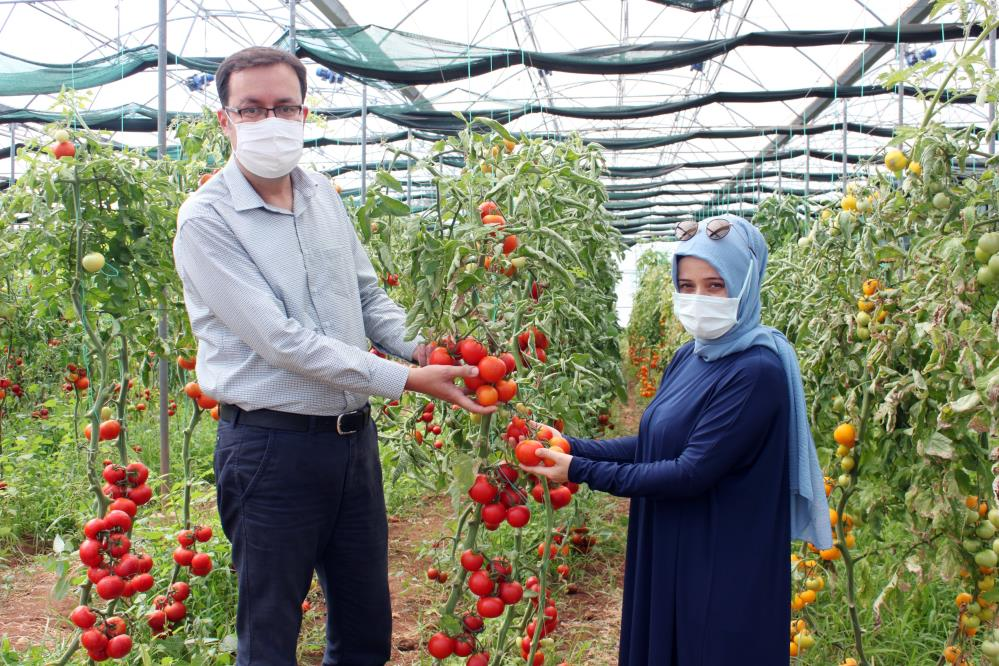 Sel ve su baskınına dayanıklı domates çeşidi geliştiriliyor